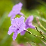 Flor de Waterkanon fotos de stock royalty free