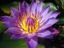 Flor de WaterLily Imagem de Stock Royalty Free