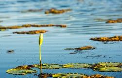 Flor de WaterLily Fotografía de archivo libre de regalías
