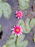 Flor de Waterlily en el lago Fotografía de archivo libre de regalías