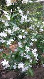 Flor de Wathusuddha em Sri Lanka fotografia de stock
