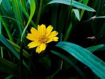 Flor de Wedelia fotos de archivo libres de regalías