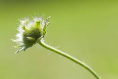 Flor de Weed Fotografia de Stock