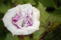 FLOR DE WHITE-PINK Foto de archivo