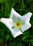 Flor de Whitegrass Imágenes de archivo libres de regalías