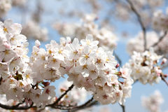 Flor de Whtie Sakura con el cielo azul Fotografía de archivo