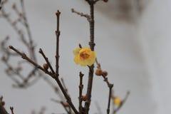 Flor de Wintersweet Foto de Stock