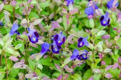 Flor de Wishbone, Bluewings, Torenia Foto de archivo libre de regalías