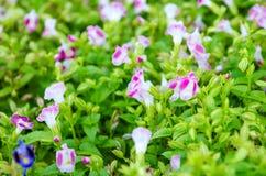 Flor de Wishbone, Bluewings, Torenia Fotografía de archivo libre de regalías