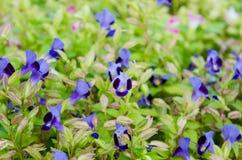 Flor de Wishbone, Bluewings, Torenia Imágenes de archivo libres de regalías