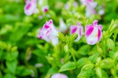 Flor de Wishbone, Bluewings, Torenia Fotos de archivo libres de regalías
