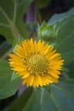 Flor de Yacon (sonchifolius do smallanthus) Imagens de Stock Royalty Free