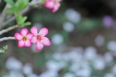 Flor de Yasmin Fotos de archivo libres de regalías