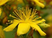 Flor de Yelow Imagen de archivo libre de regalías