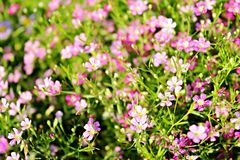 Flor de Yipso Fotografia de Stock