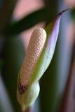 Flor de Zamioculcas Imagenes de archivo