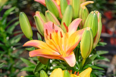 Flor de Zephyranthes Imagem de Stock Royalty Free
