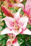 Flor de Zephyranthes Los nombres comunes para las especies en este género incluyen el lirio, el rainflower, el céfiro, la magia,  Foto de archivo