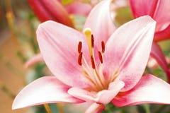 Flor de Zephyranthes Los nombres comunes para las especies en este género incluyen el lirio, el rainflower, el céfiro, la magia,  Imagenes de archivo