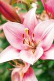 Flor de Zephyranthes Os nomes comuns para espécies neste gênero incluem o lírio, o rainflower, o zéfiro, a mágica, Atamasco, e a  Foto de Stock
