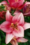 Flor de Zephyranthes Os nomes comuns para espécies neste gênero incluem o lírio, o rainflower, o zéfiro, a mágica, Atamasco, e a  Fotografia de Stock