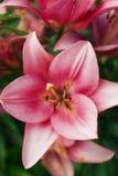 Flor de Zephyranthes Os nomes comuns para espécies neste gênero incluem o lírio, o rainflower, o zéfiro, a mágica, Atamasco, e a  Fotografia de Stock Royalty Free