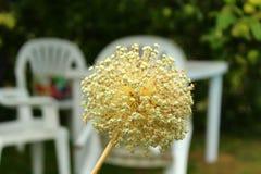 Flor decorativa da cebola Fotos de Stock Royalty Free