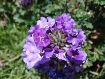 Flor decorativa da cor roxa impressionante fotografia de stock royalty free