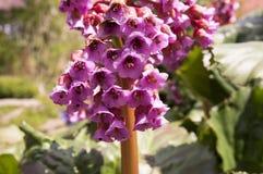 Flor decorativa da mola do cordifolia do Bergenia na flor imagens de stock royalty free