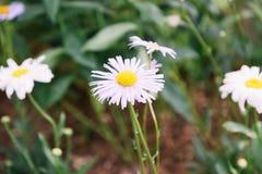 Flor decorativa de la manzanilla Imagen de archivo libre de regalías
