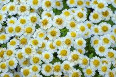 Flor decorativa de la margarita Foto de archivo libre de regalías