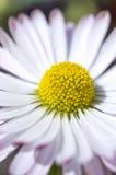 Flor decorativa de la margarita imagenes de archivo
