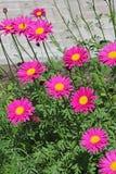 Flor decorativa Feverfew do jardim (Pyrеthrum) Imagens de Stock