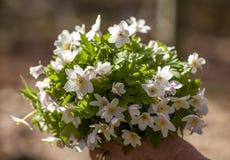 Flor decorativa selvagem do verão das anêmonas feita como o abouquet Fotografia de Stock