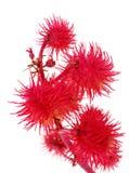 Flor decorativa vermelha Fotos de Stock Royalty Free