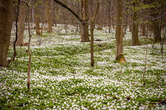 Flor decorativean selvagem do verão dos amones Imagem de Stock Royalty Free