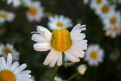 Flor deformada de la manzanilla en un fondo de otras margaritas Foto de archivo libre de regalías