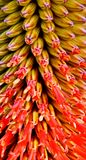Flor del áloe Fotos de archivo libres de regalías