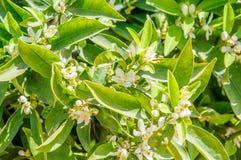 Flor del árbol anaranjado Fotos de archivo libres de regalías