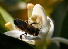 Flor del árbol anaranjado con la abeja Fotografía de archivo libre de regalías