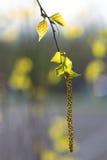 Flor del árbol de abedul en resorte Imagenes de archivo