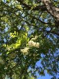 Flor del árbol de Accasia Imagen de archivo libre de regalías