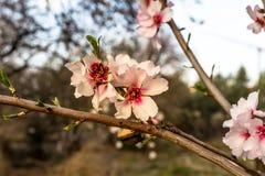 Flor del árbol de almendra fotografía de archivo