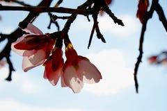 Flor del árbol de almendra en fondo azul fotos de archivo