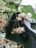 Flor del árbol de cal y de una abeja Foto de archivo libre de regalías