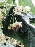 Flor del árbol de cal y de una abeja Fotos de archivo