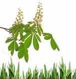 Flor del árbol de castaña Fotos de archivo libres de regalías