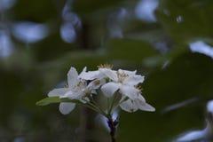 Flor del árbol de cornejo Foto de archivo libre de regalías