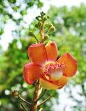 Flor del árbol de la bola de cañón Imágenes de archivo libres de regalías