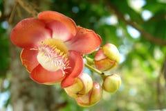 Flor del árbol de la bola de cañón Imagen de archivo